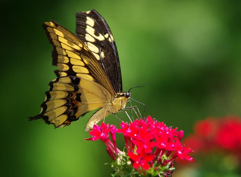 Thoas Swalowtail Butterfly<br /> Fairchild Tropical Botanic Garden<br /> Coral Gables, FL