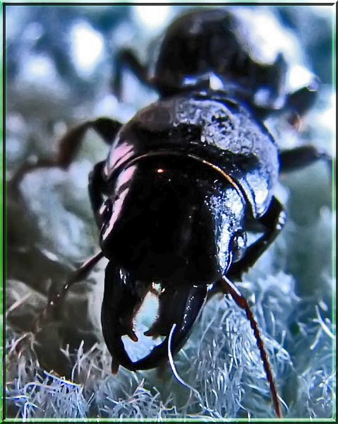 Ebony Blister Beetle