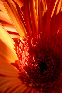 Orange Gerbera  Please contact us at photo.images@comcast.net to purchase any images in the galleries.  Pricing is available on the About Us page.