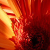 Orange Gerbera<br /> <br /> Please contact us at photo.images@comcast.net to purchase any images in the galleries.  Pricing is available on the About Us page.
