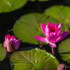 Pink waterlily at the pond, nature photography