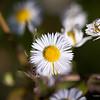 Daisy variety, macro photography