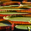 Large waterlily pads covering the lake, nature photography