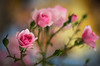 Mischievous rose