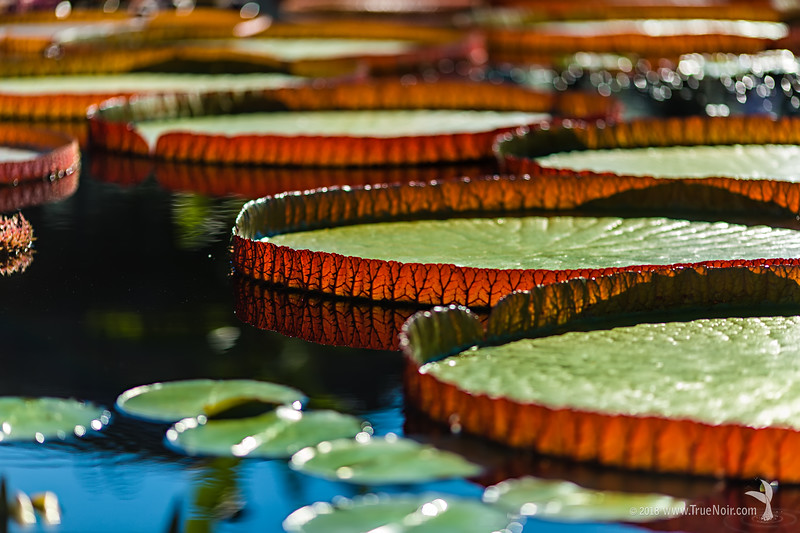 Lily pads reflecting in the pond, nature photography
