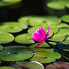 Pink waterlily among lily pads, nature photography