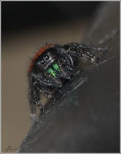 sandy jumping spider