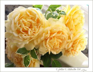 My favorite rose.