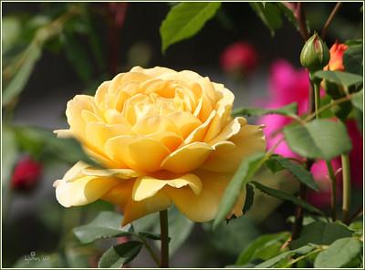 first roses of 08, Golden Celebration. My favorite David Austin cabbage rose.