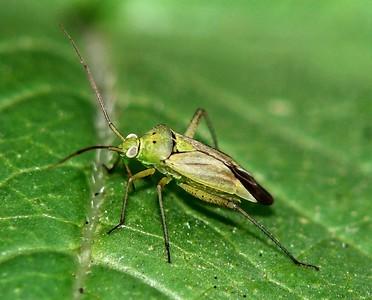 Green Bug (2) FZ20 12x + Nikon 6T - f5.2, 1/200, ISO 100