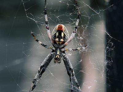Orbweb Spider