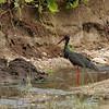 A rare Black Stork.  Shame that we cannot get out of the jeep so can't get away from the grass in front of the bird!