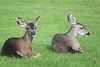 Deer in a Monterey Cemetery.