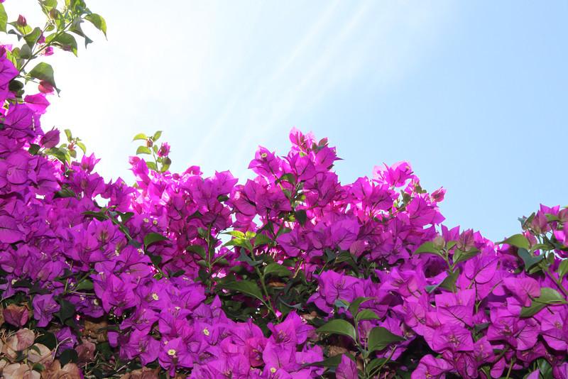 Flower vine in morning sunshine, Casa De Fruita along Highway 152.