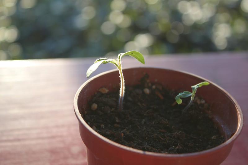 Baby tomato plant.