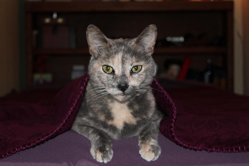 Piper Ann, a peach tortishell cat.