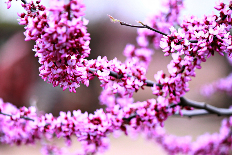 Peach tree in bloom.