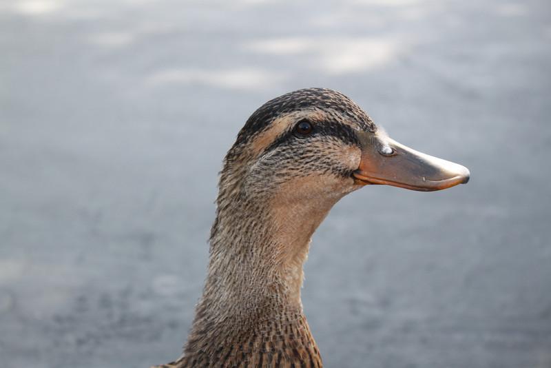Smiling duck, Casa De Fruita along Highway 152.