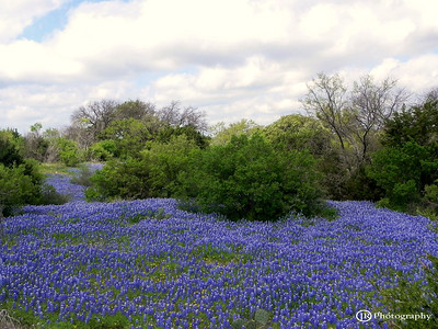 River of Bluebonnets