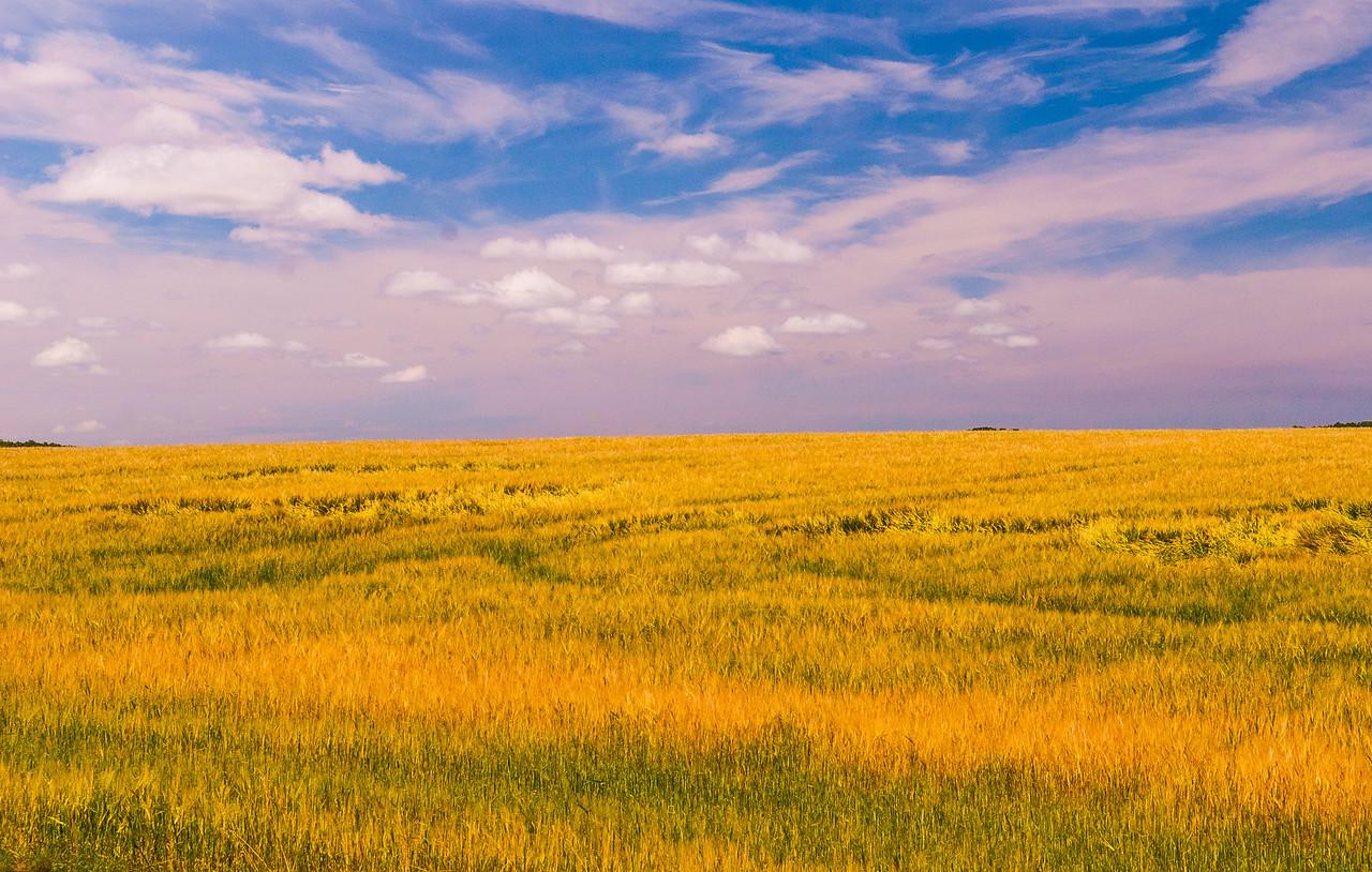 Aroostook County Field of Gold