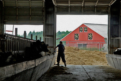 Cow Care in Maine Barn
