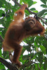 Young Orangutan swinging in the trees of Bako National Park on the Malaysian Side of Borneo, Sarawak, Malaysia