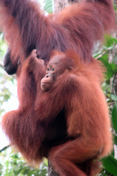 Orangutan mother and baby swinging in the trees of Bako National Park on the Malaysian Side of Borneo, Sarawak, Malaysia