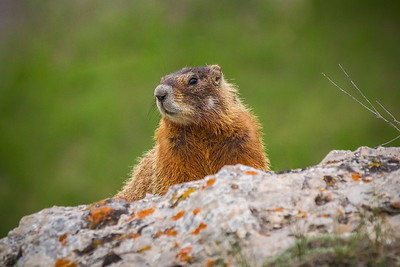 Coy Rock Rodent