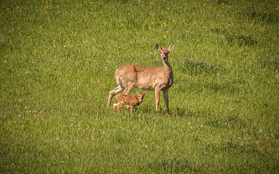 Bambi and His Mother