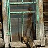 """""""Someone's Knocking""""<br /> Coyote pup plays on the porch of an old abandoned shed <br /> while his 9 siblings wrestle in the grass below."""