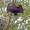 Fruit Bat, Flying Fox