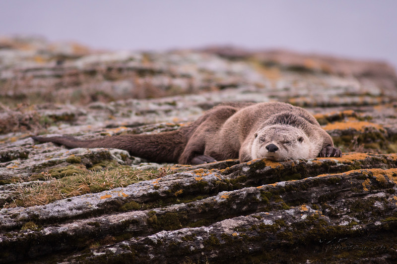 Otterly Exhausted