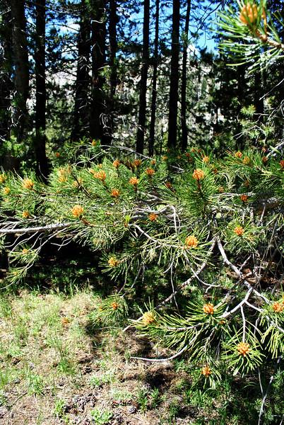 Beginning of Pine Cones near Mammoth