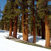 Trees in Mammoth
