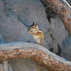 Chipmonk 2 in Mammoth