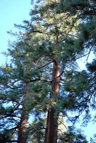Redwood Trees near Mammoth Lakes California 2