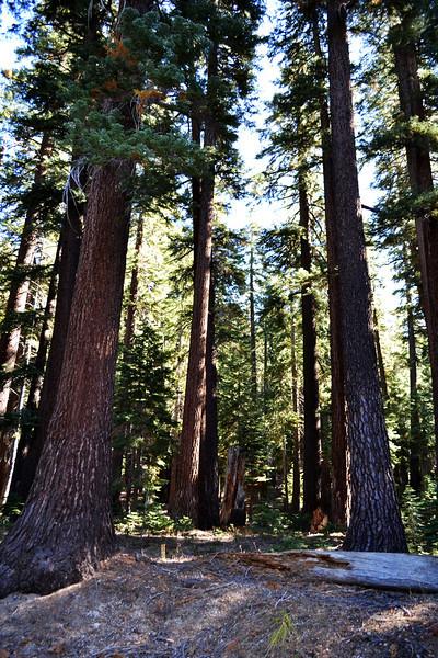Redwood Trees near Mammoth Lakes California