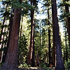 Redwood Trees near Mammoth Lakes California