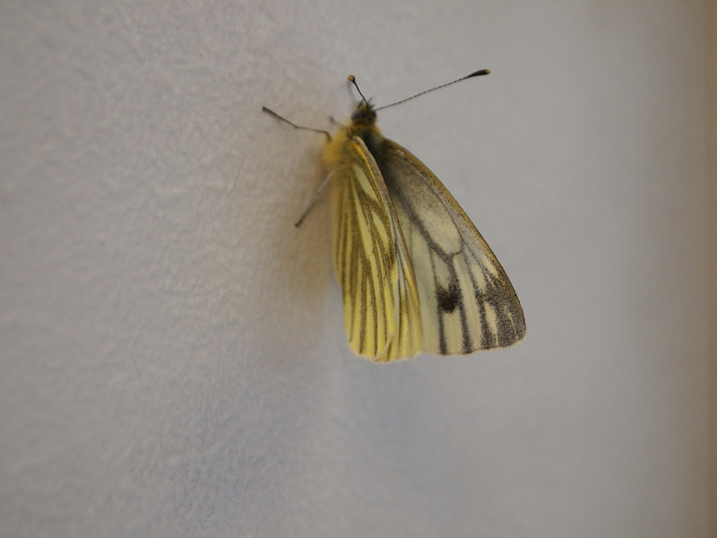 Butterfly on the wall at the office.  I need a macro lens. My kit lens focuses quite close but gets a little unreliable.  This is not critically in focus.