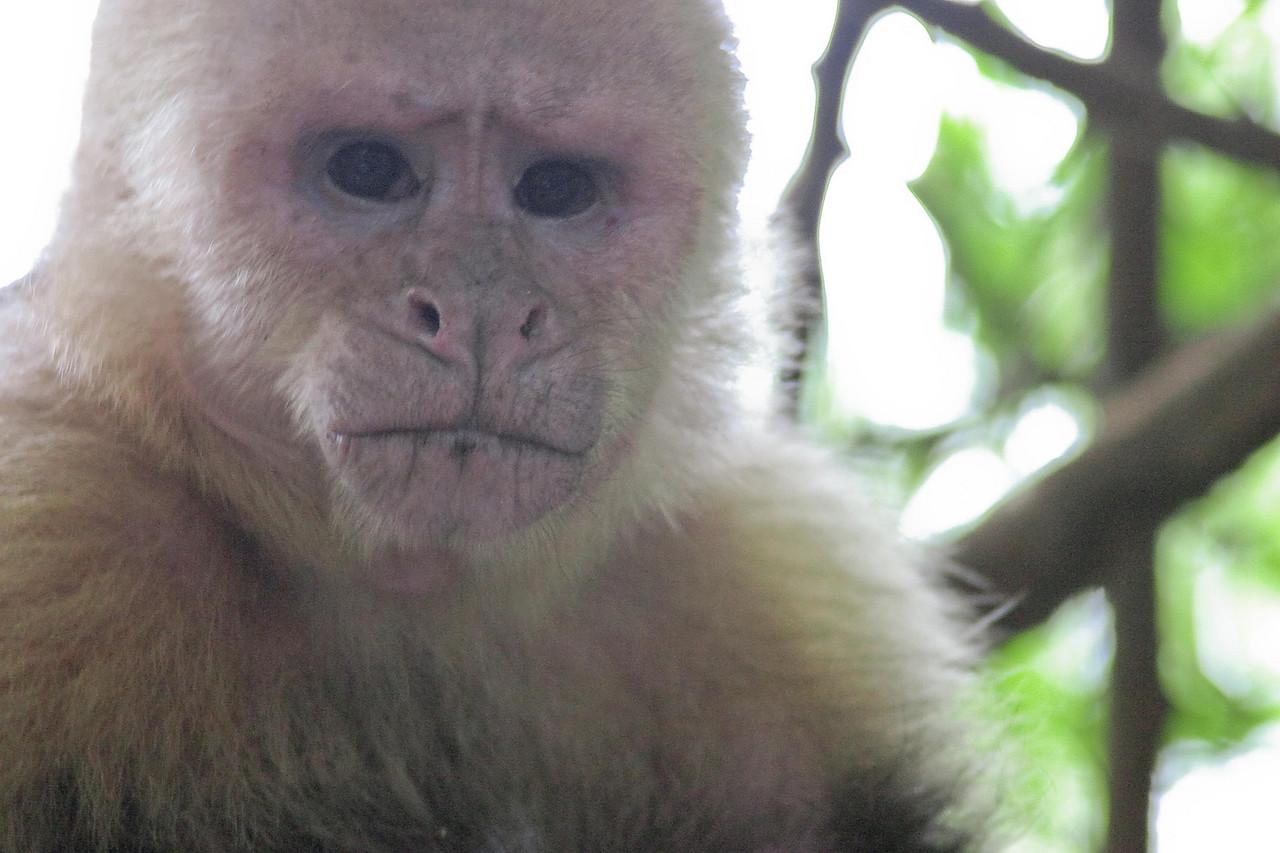 Old Howler Monkey