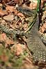 Goanna (Australian Monitor Lizard)  - Noosa National Park, Sunshine Coast, Queensland, Australia; Friday 6 August 2010.