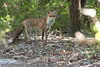 So surprised to see this fox that I didn't have time to check my camera's settings. I just shot as soon as I could (hence the blurry pic). Fox - Noosa National Park, Sunshine Coast, Queensland, Australia; Friday 6 August 2010.