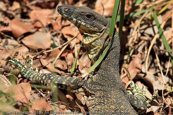 Goanna (Australian Monitor Lizard)  - Noosa National Park, Sunshine Coast, Queensland, Australia; Friday 6 August 2010.