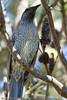 Female Figbird (Sphecotheres viridis) - Noosa National Park, Sunshine Coast, Queensland, Australia; Friday 6 August 2010.