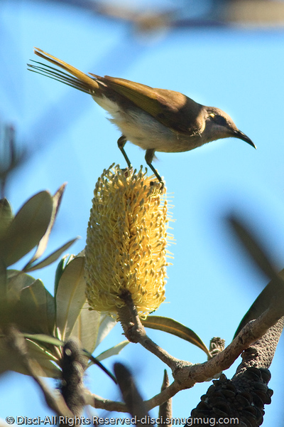 Honeyeater - Noosa National Park, Sunshine Coast, Queensland, Australia; Friday 6 August 2010.