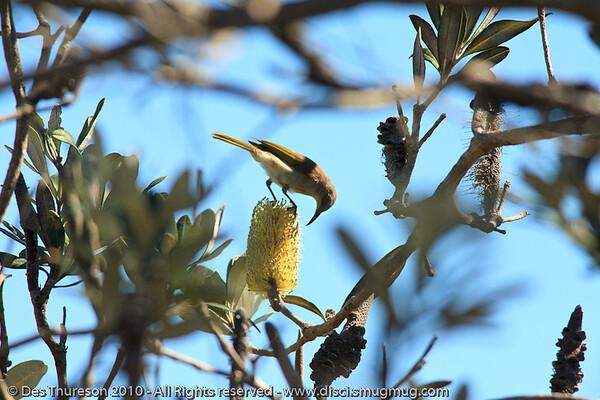 Honeyeater - Noosa National Park, Sunshine Coast, Queensland, Australia; Friday 6 August 2010.