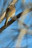 Brown Honeyeater?(Lichmera indistincta) - Noosa National Park, Sunshine Coast, Queensland, Australia; Friday 6 August 2010.