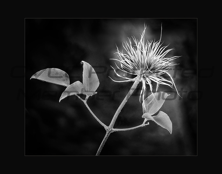 Clematis Revisited