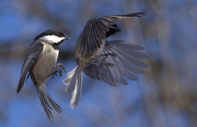 chickadee flight sequence, Paul Miles, digital print on photo paper, 18x22, $70,  513 825 8813, paul3295@fuse.net