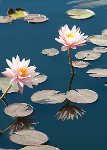 Water Lily Repose